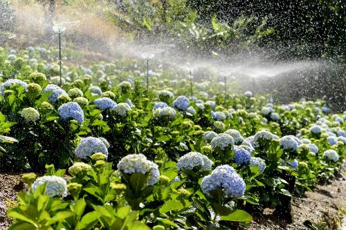 Cẩm tú cầu vốn là một trong những loài hoa đặc trưng của thành phố Đà Lạt. Ảnh: Hachi8.