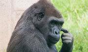 Louis - khỉ đột chuyên đi hai chân để giữ tay sạch khi ăn