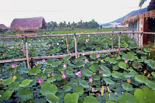 Đường vào đầm sen hoa nở bạt ngàn ở Nha Trang - 1