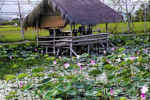 Đường vào đầm sen hoa nở bạt ngàn ở Nha Trang - 2