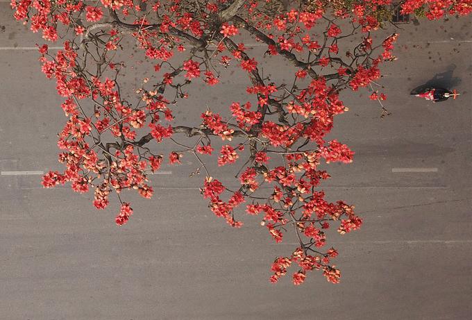 Hoa gạo tháng 3 nở đỏ rực đường phố, làng quê