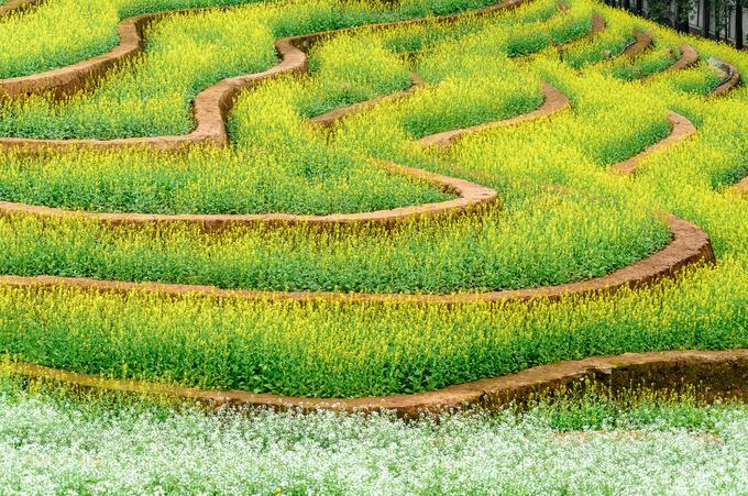 Ruộng hoa bậc thang 'gây sốt' ở Hà Nội