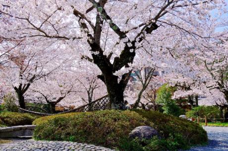 Vào mùa hoa anh đào, toàn bộ công viên được nhuộm màu hồng, rất đặc sắc và thu hút du kháchđến tham quan.