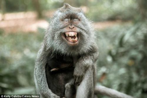 Sau khi ngáp, con khỉ giống như đang cười to.
