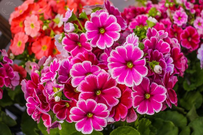 Thảm hoa mùa xuân khoe sắc rực rỡ tại Nhật Bản