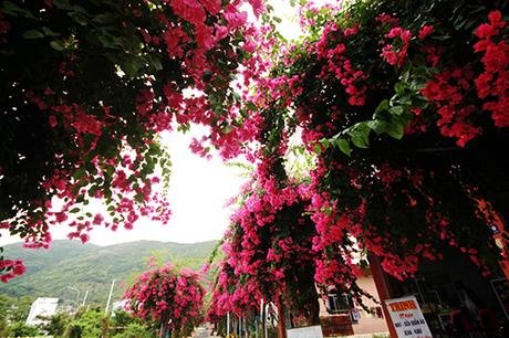Con đường có khoảng 60 cây hoa giấy màu hồng, trồng với giá đỡ bằng sắt, được Công ty Môi trường đô thị tỉa cành thường xuyên nên dáng đẹp. Cứ đầu hạ là cả con đường rợp màu hoa, khiến cho chính người dân ở đây cũng có thú vui  ra trước nhà ngồi ngắm. Vào cuối năm 2017, cơn bão 12 ập tới, bao nhiêu cây cối bị ngã đổ, nhưng trên đường Bạch Thái Bưởi chỉ có 7 cây hoa giấy đầu đường bị gãy, hàng cây bên trong vẫn vẹn nguyên. Những cây hoa giấy này được trồng từ năm 2000. Qua 18 năm đã thành một điểm đến của nhiều người. Các lứa đôi yêu nhau chọn chụp ảnh cưới, các bạn trẻ thả hồn cùng sắc hoa. Trong nắng nhẹ vương, thỉnh thoảng những bông hoa rụng xuống, chao trong gió như điểm xuyết cho vẻ đẹp của một con đường.