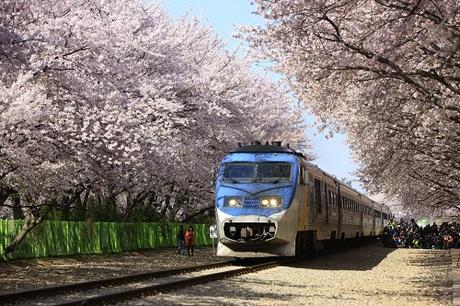 Bạn có thể ghé đến công viên Yeouido tận hưởng bầu không khí trong lành và cảm nhận vẻ đẹp tinh khiết của những cánh hoa anh đào trong sương sớm.