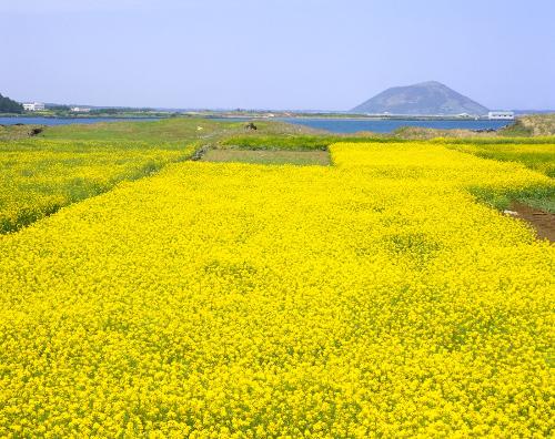 Cánh đồng cải tại Jeju.