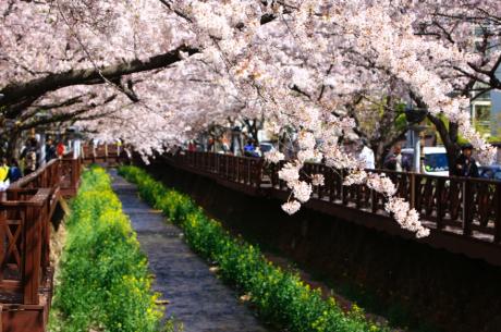 Hoa anh đào khoe sắc tại Hàn Quốc.