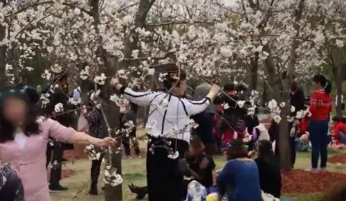 Nhiều người bày tỏ thái độ bất bình trước hành động trèo lên cây, rung lắc cho rụng hoa của du khách. Ảnh: SMCP.