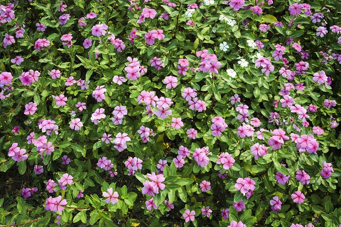 Cánh đồng hoa dừa cạn hút giới trẻ ở An Giang