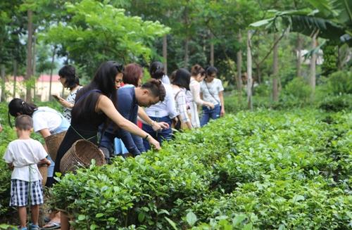 Du khách trải nghiệm hái chè ở làng chè Ba Trại, huyện Ba Vì, Hà Nội. Ảnh: Hương Chi.