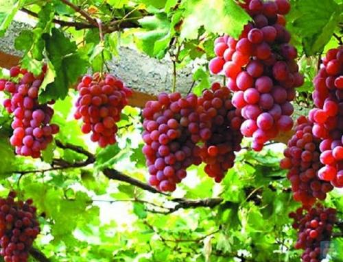 Ninh Thuận có các đặc sản nổi tiếng là nho, măng tây, mủ u, táo xanh... Ảnh: Toplist.