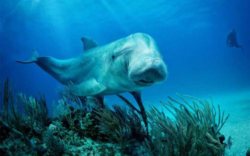 Sinh vật lai giữa lơn biển và cá heo bơi ở ngoài khơi bang Florida chỉ là một trò đùa câu khách của các nhân viên của thành phố Clearwater mà thôi. Ảnh: Telegraph.
