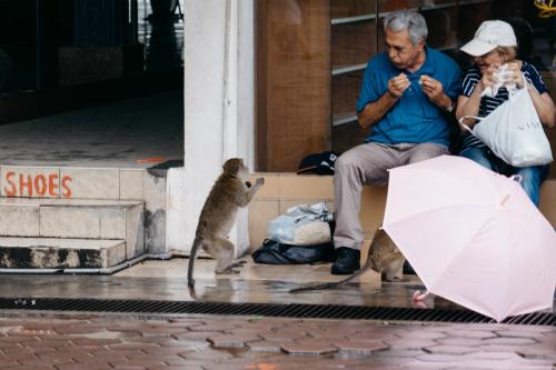 Những băng đảng khỉ ở Kuala Lumpur - 1