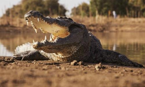 Du khách say rượu rơi vào bể cá sấu ở Zimbabwe