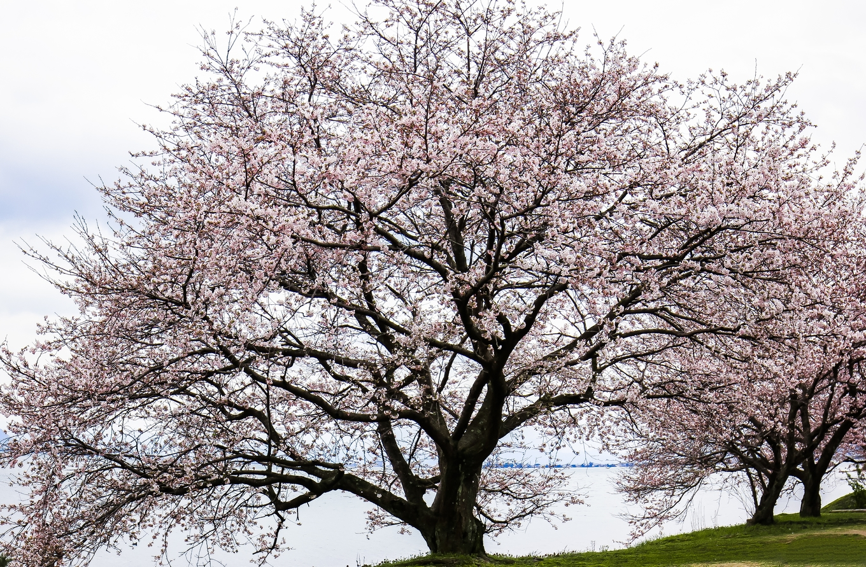 Bộ ảnh hoa anh đào của chàng trai Việt sống tại Nhật