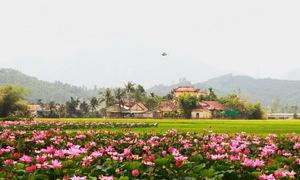 Cánh đồng sen ở Khánh Hòa ngỡ như Đồng Tháp Mười