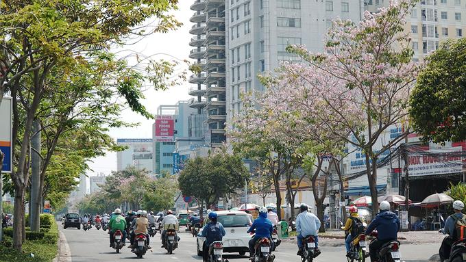 Hàng trăm cây hoa kèn hồng nở rộ giữa trung tâm Sài Gòn