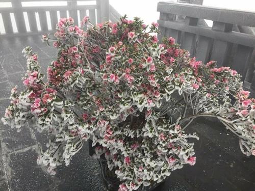 Tháng 4 cũng là mùa hoa đỗ quyên nở trên đỉnh Fansipan nên hiện tượng băng giá đã phủ trắng nhiều cây hoa cổ thụ. Dịp này, khu du lịch ở Fansipan tổ chức lễ hội hoa đỗ quyên. Theo ban tổ chức hiện tượng băng giá sẽ tạo nên điểm nhấn thú vị trong những ngày diễn ra lễ hội.