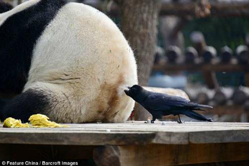 Người dùng internet cho rằng con quạ đangxây một chiếc tổ Hermès, có lẽ làngôi nhàsành điệu nhất trong thế giới loài chim. Dùng lông của loài vật biểu tượng cho Trung Quốc sao? Tốt nhất con quạ này nên giữ gìn cái tổ trong nhiều năm, một người nhận định.Ảnh: REX.
