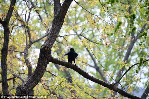 Quạ là một trong những loài chim thông minh nhất thế giới. Việc sử dụng lông gấu trúc có lẽ là sáng kiến mới nhất của loại quạ, bởi thông thường chúng chỉ dùng cành cây, rơm, đất sét... Ảnh: REX.