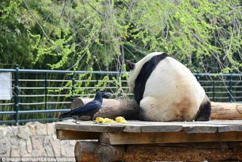 Đến tham quan vườn thú Bắc Kinh ngày 4/9, nhiều du khách phải bất ngờ khi chứng kiến hành động của một con quạ đối với congấu trúc khổng lồ đang nằm nghỉ trên ván gỗ, theoPeoples Daily Online.Ảnh: REX.