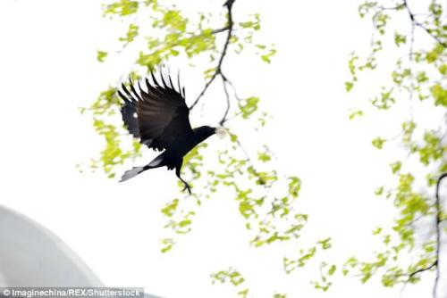 Con quạ tha lông gấu tới cành cây nơi nó làm tổ.Ảnh:REX.
