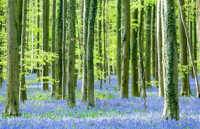 Rừng hoa chuông xanh nở rộ ở Bỉ