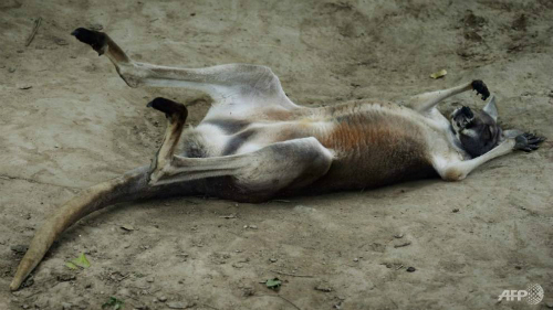 Con kangaroo mẹ chết vài ngày sau khi bị du khách ném đá vào. Ảnh: AFP.