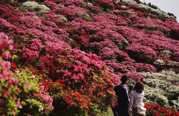 Đỗ quyên trải thảm hoa rực rỡ khắp Nhật Bản