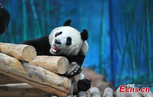 Gấu trúc đực bị nhầm là con cái suốt 4 năm ở Trung Quốc