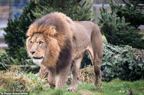 Sư tử ngoạm cổ chủ vườn thú, kéo vào bụi rậm ở châu Phi