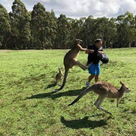 Kangaroo tấn công du khách. Ảnh:Shane Lewis.