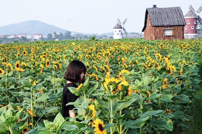 Cánh đồng 3 hecta hoa hướng dương nở rộ ở Bắc Giang