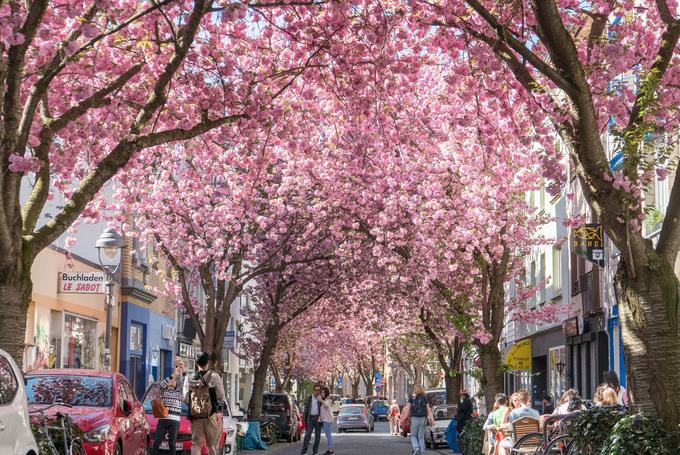 Phố cổ rực hồng sắc hoa anh đào ở Đức