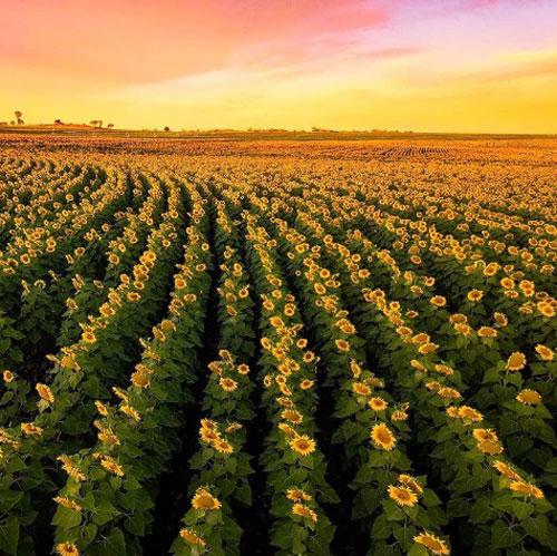 Cambooya, Sunflower RouteNhững tín đồ Instagram có thể thử trải nghiệm một ngày thực địa theo đúng nghĩa đen khi đến nghỉ hè tại Cambooya miền Nam Queensland. Với một thảm hoa hướng dương vàng rực tựa như tranh vẽ dọc khắp khu vực Cambooya, Nobby hay Felton của Sunflower Route. Thậm chí việc du khách thường xuyên đi lạc vào các khu đất tư do mải mê chụp ảnh đã khiến chủ các trang trại phải cắm biển cảnh báo.