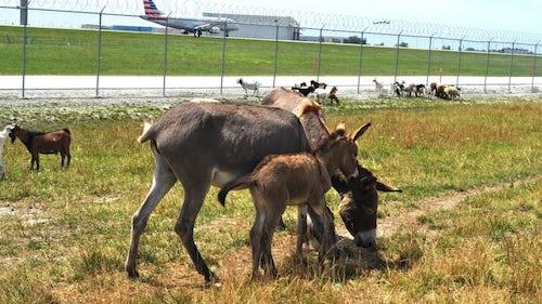 Sân bay OHare gần đây cũng đã thuê một số loại động vật từ một cơ sở cứu hộ động vật gần đó, bao gồm dê, cừu, lạc đà, lừa... để giải quyết một số thảm thực vật dày đặc mọc quanh sân bay. Ảnh:CNN.