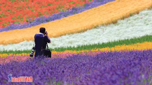 Những cánh đồng hoa bất tận được mệnh danh là thiên đường hoa oải hương ở Hokkaido.