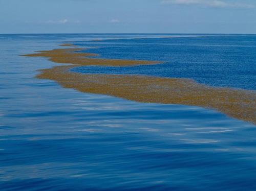 Điểm giúp du khách phát hiện ra được họ đã đến biển Sargasso chính là lượng lớn tảo nâu nổi trên mặt nước. Ảnh: MFacts.