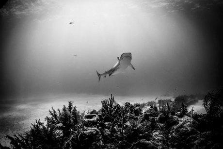 Sau khi nôn ra cánh tay người, con cá mập đã bị mổ bụng để tìm kiếp nốt vật chứng. Tuy nhiên, theo lời khai từ phía thủy cung, trong bụng con vật không có thêm bất kỳ bộ phận người nào nữa. Ảnh: Atlas Obscura.