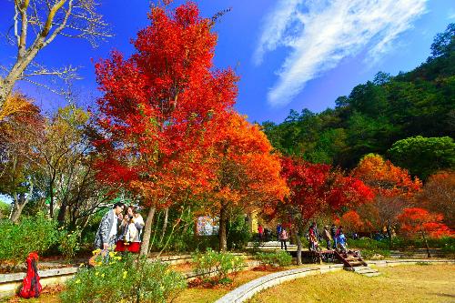 Mùa lá phong đỏ ở Yangmingshan  Đài Loan.