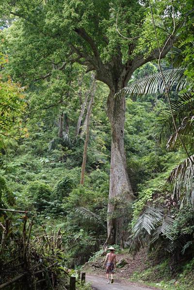 Bạn có thể tản bộ xuyên qua khu rừng với các thân cây khổng lồ.