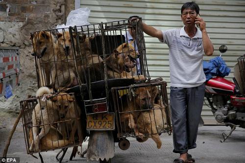 Những con chó được tiêu thụ trong lễ hội Yulin tại Trung Quốc. Ảnh:EPA.