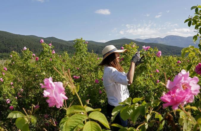 Thung lũng phủ kín hoa hồng ở Bulgaria