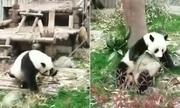 Gấu trúc gây sốt với màn nhào lộn kungfu trong vườn thú