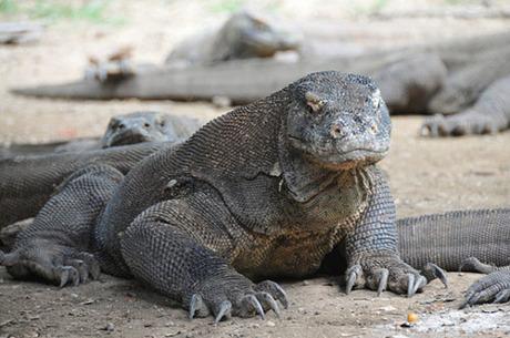 Indonesia là nơi sinh sống của rồng Komodo. Đây là loài vật đáng sợ, nặng 70kg, dài tối đa 3 m. Các vết cắn của chúng đều có độc. Ảnh: Telegraph.