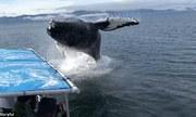 Cá voi văng mình khiến tàu chở đầy khách chao đảo ở Mỹ