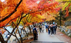 Người Nhật đem cây phong lá đỏ đến Sài Gòn để quảng bá mùa thu