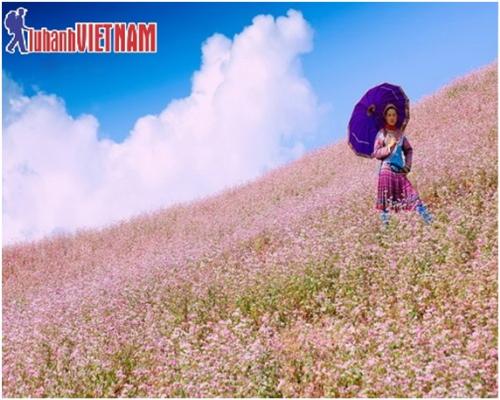 Hoa tam giác mạch nở rực cả một vùng trời Hà Giang.